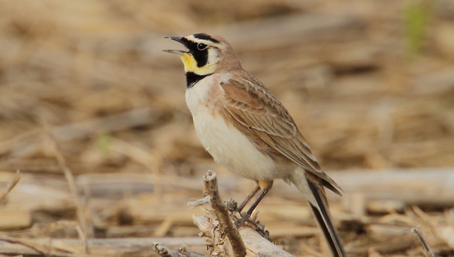 photo of singing Horned Lark