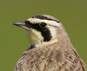 small photo of Horned Lark