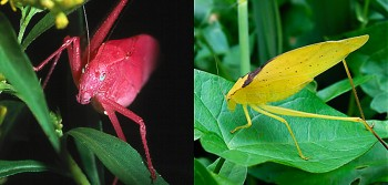 Very rarely, pink or yellow individuals may be found within a dense population