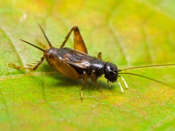 Confused Ground Cricket
