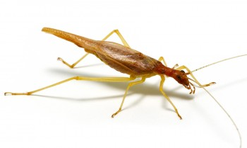 Two-spotted Tree Cricket