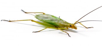Fast-calling Tree Cricket