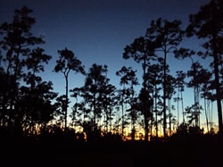 photo of pines at sunset