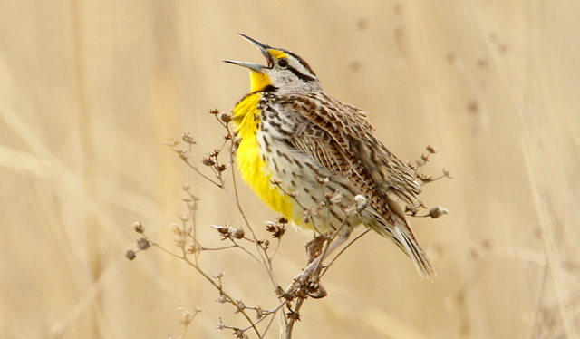 photo of Eastern Meadowlark singing
