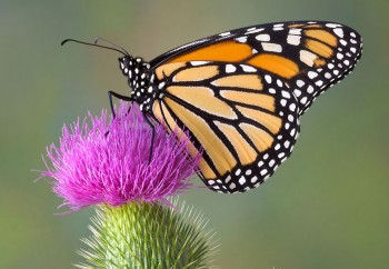 Monarch Butterfly on a Thistle flower
