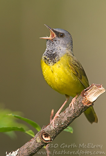 photo of a Mourning Warbler by Garth McElroy