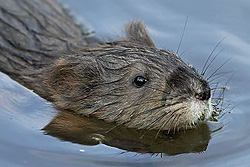 photo of a muskrat © Wil Hershberger
