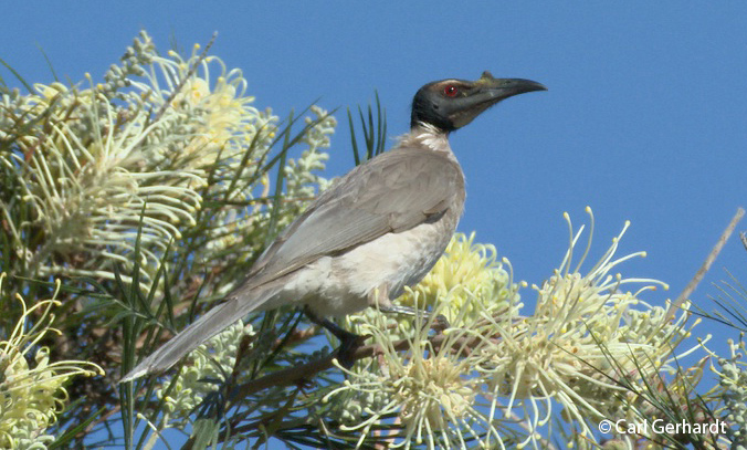 photo of Noisy Friarbird