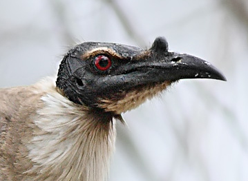 photo of head of Noisy Friarbird