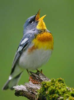 photo of Northern Parula © Brian Small