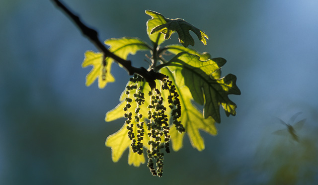photo of oak leaves and catkins