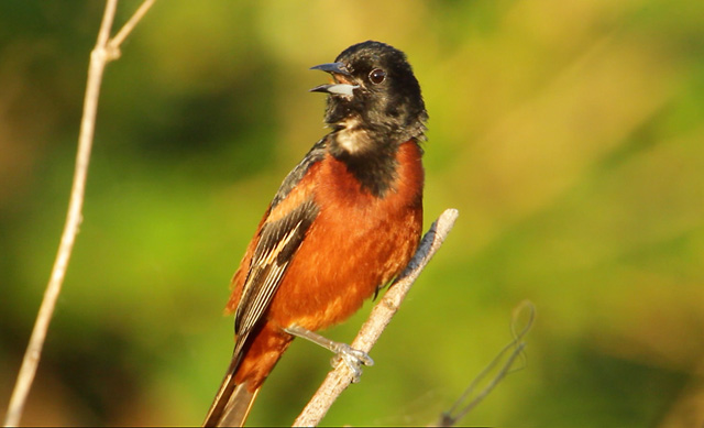 photo of Orchard Oriole calling