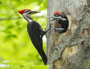 photo Pileated Woodpecker Nest and Young