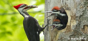 photo of Pileated Woodpecker nest with adult and young
