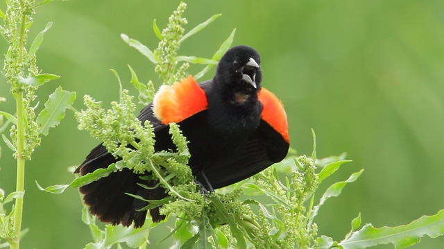 photo of singing Red-winged Blackbird