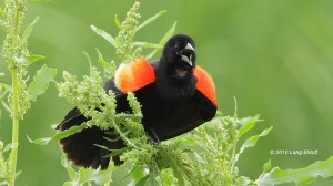large photo of a singing Red-winged Blackbird