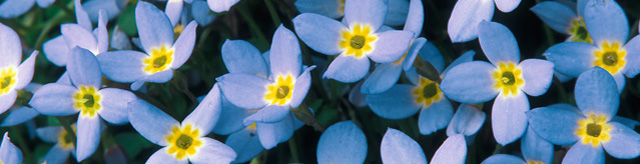 photo of Bluets . . . Spring is Here!