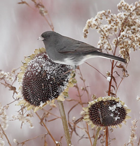 dark-eyed junco on sunflower head