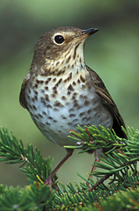photo of Swainson's Thrush by Lang Elliott