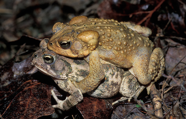 photo of an American Toad mounted on top of a Fowler's Toad