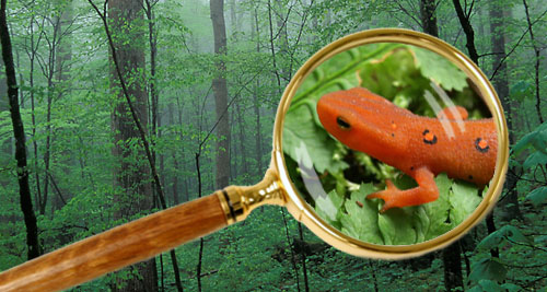 Vignette Graphic featuring closeup of red eft