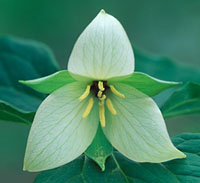 photo of a White Trillium