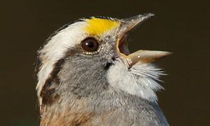 photo of singing White-throated Sparrow - © Lang Elliott