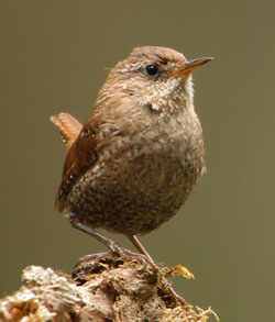 photo of a Winter Wren by Lang Elliott