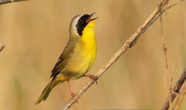 photo of a Common Yellowthroat singing