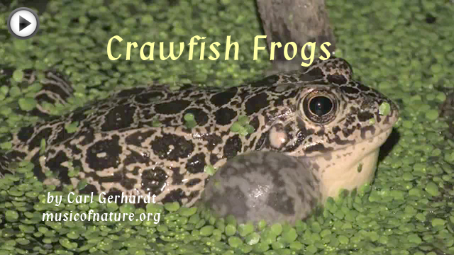 placeholder image for Crawfish Frogsvideo clip