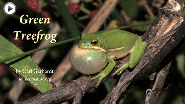 placeholder image for the Green Treefrog video clip by Carl Gerhardt