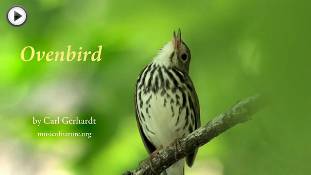 placeholder image for the Ovenbird video clip by Carl Gerhardt
