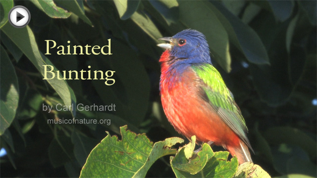 placeholder image for Painted Bunting video clip