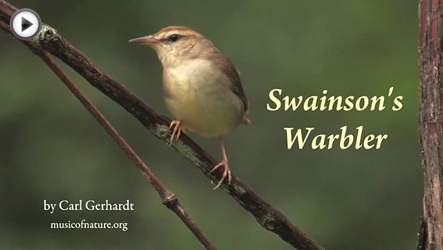 placeholder image for the Swainson's Warbler video clip by Carl Gerhardt