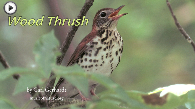 placeholder image for the Wood Thrush video clip by Carl Gerhardt