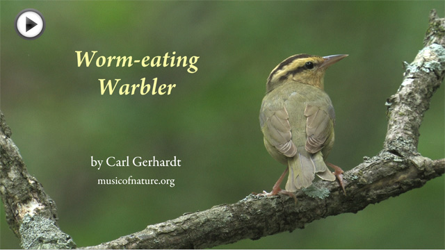 placeholder image for the Worm-eating Warbler video clip by Carl Gerhardt