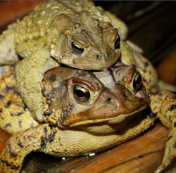 photo of a pair of american toads in amplexus