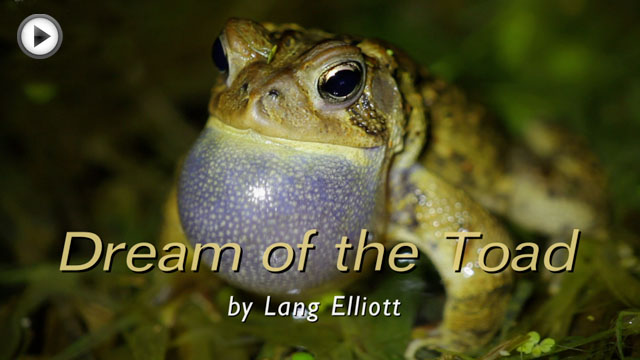 photo of an American Toad, linked to movie