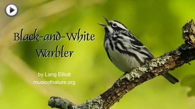 placeholder image for Black-and-White Warbler video portrait
