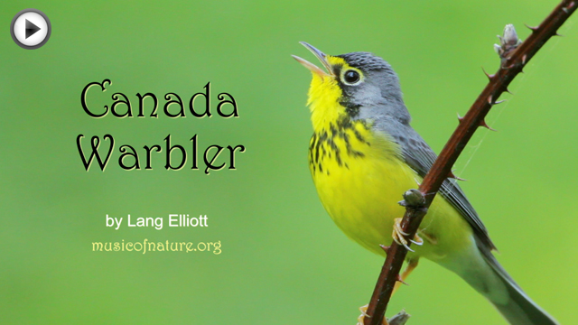 placeholder image for the Canada Warbler video clip