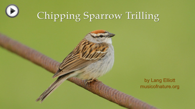 placeholder image for Chipping Sparrow Trilling