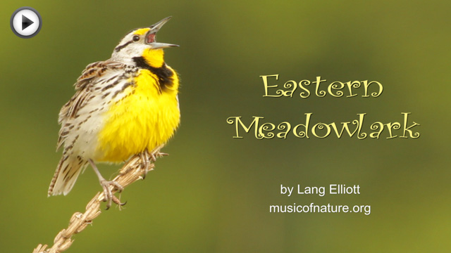placeholder image for the Eastern Meadowlark video