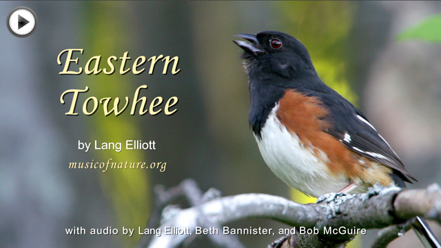 placeholder image for the Eastern Towhee video clip by Lang Elliott