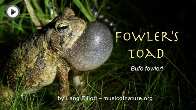 placeholder image for Fowler's Toad video