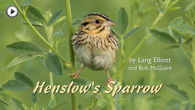 Henslow's Sparrow video placeholder image
