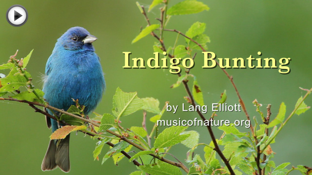 placeholder image for Indigo Bunting clip