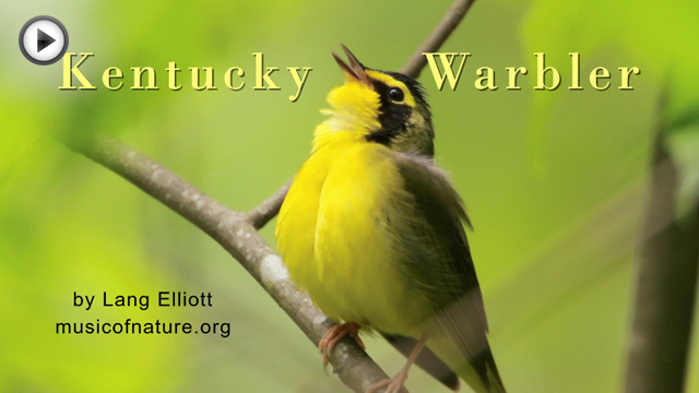 placeholder image for Kentucky Warbler clip
