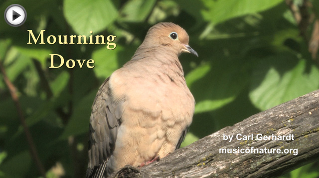 placeholder image for Mourning Dove clip