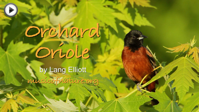placeholder image for the Orchard Oriole video clip
