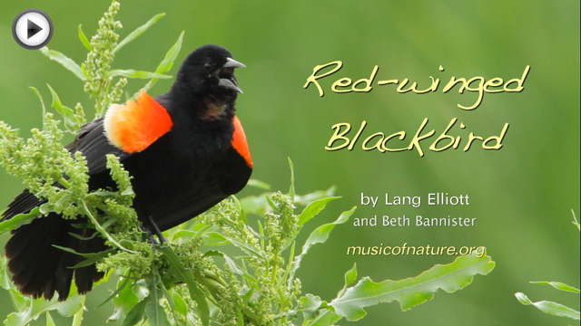 placeholder image for the Red-winged Blackbird video clip